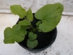Zuckerwurzel Sium sisarum Pflanze
