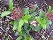 Lorbeer-SchneeballGwenllian Pflanze
