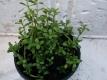 Brahmi Bacopa monnieri Pflanze