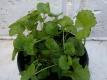 Gotu Kola Hydrocotyle asiatica Pflanze