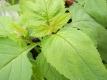 Bei Xuan Shen Scrophularia buergeriana TCM Pflanze