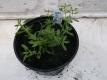 Bruchkraut Herniaria glabra Pflanze