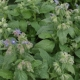 Boretsch Gurkenkraut Pflanze