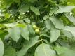 Walnuss Große von Tepl Pflanze