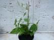 Fo-Tieng Pflanze