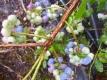 HeidelbeereChandler Vaccinum corymbosum Pflanze