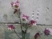 Akelei Aquilegia vulgaris plena Pink Petticoat Samen