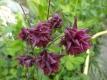 Akelei Barlow Dunkelrot gefüllt Aquilegia vulgaris Samen