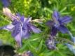 Akelei Aquilegia vulgaris blau Samen