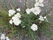 Schafgarbe Achillea millefolium Samen