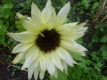 Sonnenblume Moonshadow Helianthus annus Samen