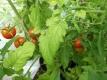 Tomate Zuckertraube Samen