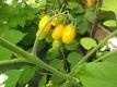 Tomate Gelbe Dattelwein Samen