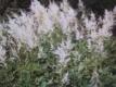 Prachtspiere Brautschleier Pflanze