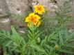 Gewürztagetes Orange Gem Pflanze