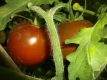 Tomate Paul Robeson Samen