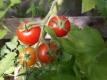 Tomate Rote Johannisbeertomate Samen
