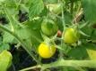 Tomate Blondköpfchen Samen