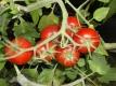 Tomate Red Rose Samen