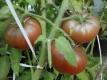 Tomate Bear Creek Samen