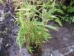 Bambus Fargesia murielaeJumbo Pflanze