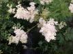 Echtes Mädesüß Filipendula ulmaria Pflanze