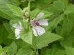 Echter Eibisch Altaea officinalis Samen