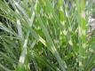 Stachelschweingras Miscanthus sinensisZebrinus Pflanze