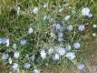 Wegwarte Zichorie Cichorium intybus Samen