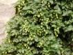 Echter Hopfen Humulus lupulus Samen