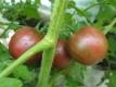 Tomate VIOLET JASPER bunte Tomate Pflanze
