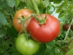Tomate Ukrainische Schöne Pflanze