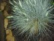 Blauschwingel Festuca  glauca Pflanze