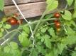 Tomate Schokoladenperle Pflanze