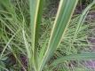 Goldbandleistengras Aureomarginata Pflanze