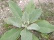Königskerze Verbascum densiflorum Pflanze