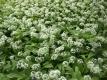 Bärlauch Allium ursinum Samen