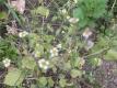 Kleinblütiges Knopfkraut Samen