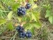 Kratzbeere Rubus caesius Samen