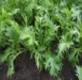 Asia Gemüse Mizuna Samen