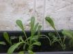 Asia-Gemüse Mibuna Samen