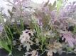 Asia Gemüse Moutarde rouge metis Samen