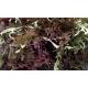 Asia Gemüse Japanischer Blattsenf Purple Frills Samen