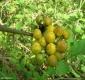 Pokastrauch Solanum torvum Samen