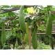 Schwammgurke Luffa aegyptica Samen