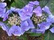 TellerhortensieBlue Bird Hydrangea serrata Pflanze