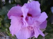 GarteneibischArdens Hibiskus syriacus Pflanze