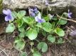 Duftveilchen Viola odorata Pflanze