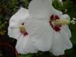 GarteneibischRed Heart Hibiskus syriacus Pflanze