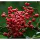 Szechuanpfeffer Zanthoxylum bungeanum Samen